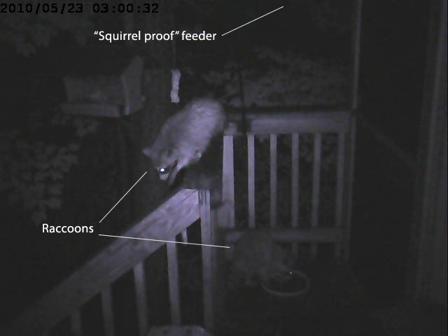 raccoons vs feeder 1